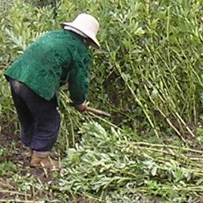 A lady harvesting soy in Qinghai