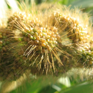 close up of millet panicle